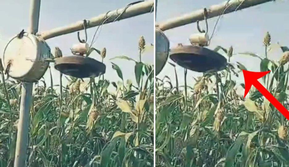 દેશી જુગાડ ખેડૂતે પક્ષીઓને ખેતરમાંથી ભગાડવા માટે 'દેશી જુગાડ' નો કર્યો ઉપયોગ, યુક્તિ સમજવી મુશ્કેલ
